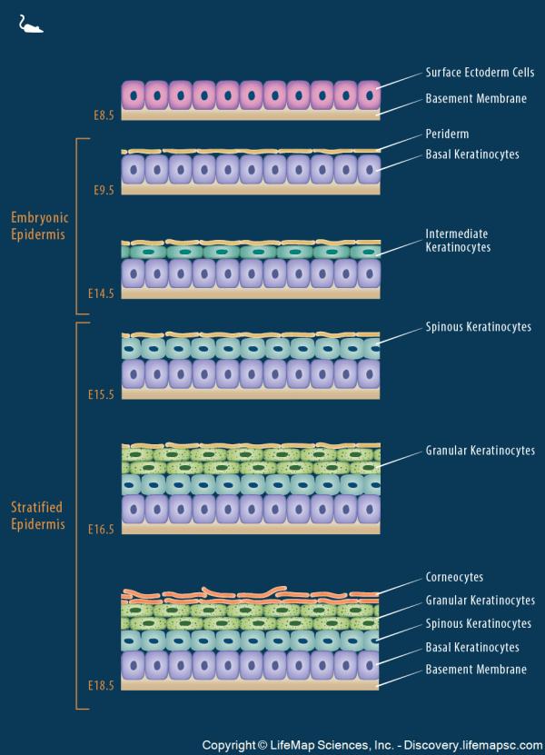 Epidermal Morphogenesis Infographic - Lifemap Discovery