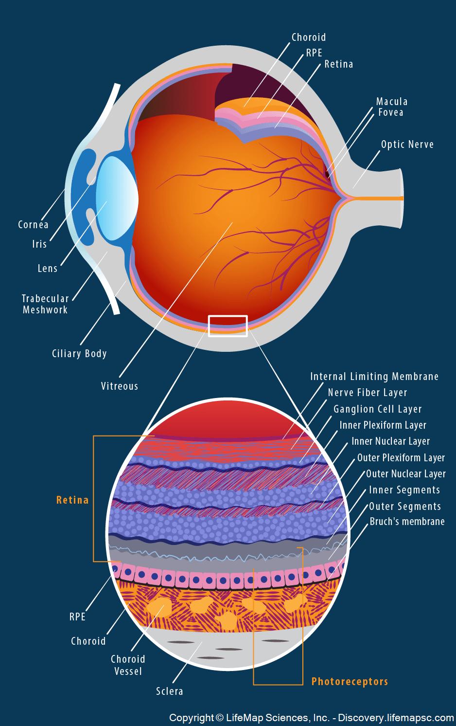 human eye anatomy infographic