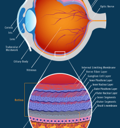 eye anatomy diagram [ 938 x 1492 Pixel ]