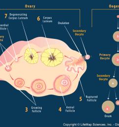 left ovary diagram [ 1252 x 872 Pixel ]