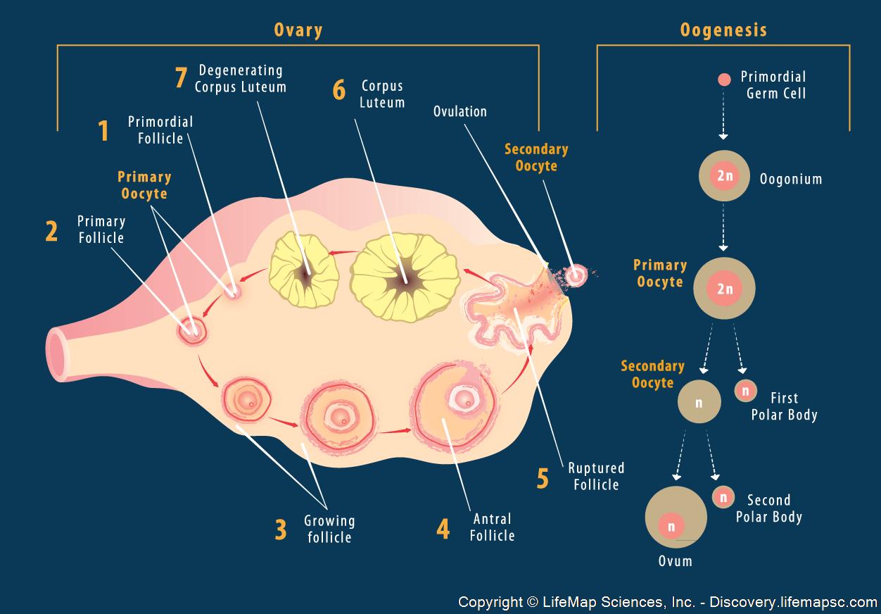 hight resolution of left ovary diagram