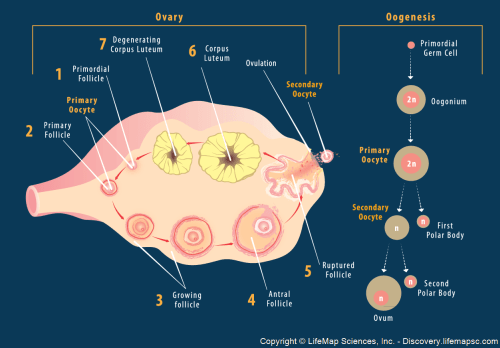 small resolution of left ovary diagram