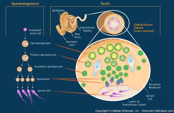 Spermatogenesis In Testis Infographic - Lifemap Discovery
