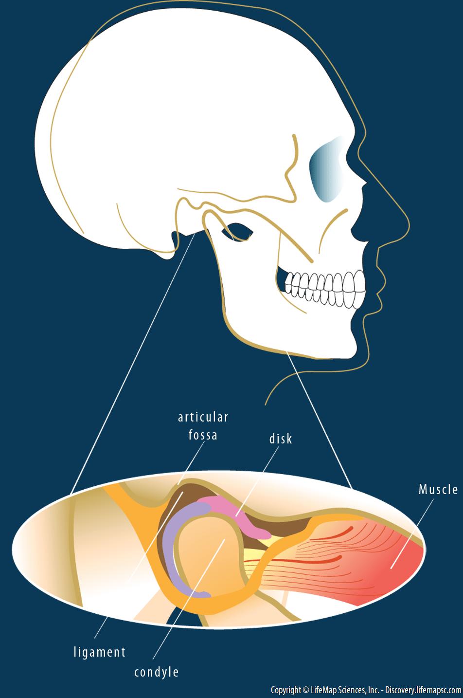 hight resolution of skull bone diagram temporomandibular joint