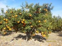 portocali