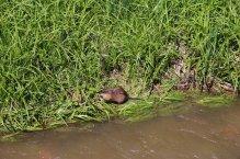 Pe marginea pârâului am găsit un bizam voios