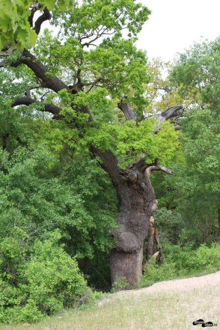 Stejar de 400 de ani