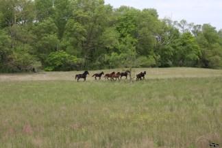 Caii sălbatici sunt timizi