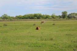 Vacile localnicilor