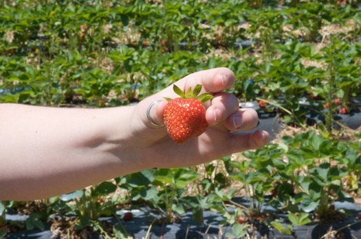 Shelburn Farm Strawberries
