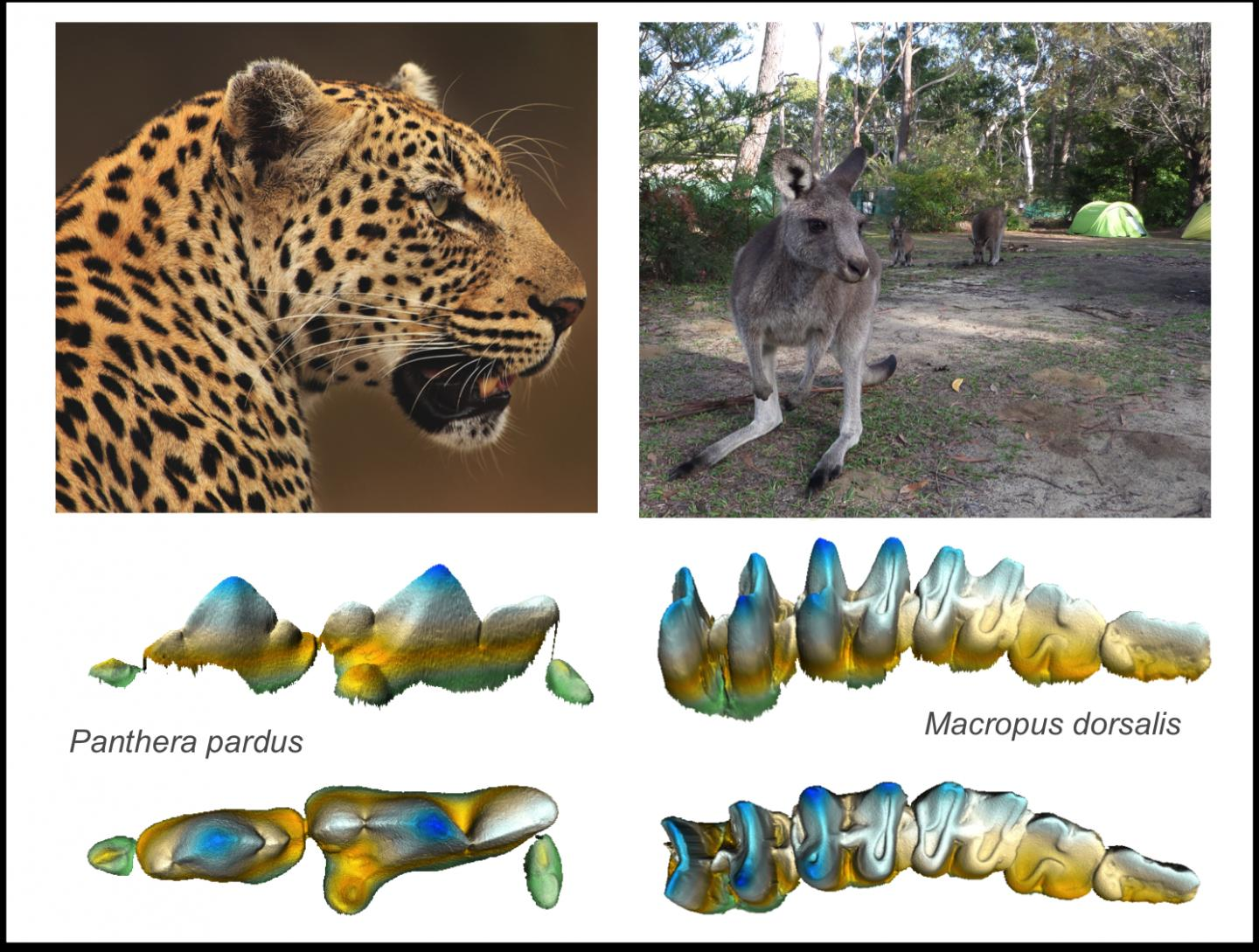 Cheetah Kangaroo Teeth Image