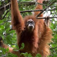 Rare Tapanuli Orangutan to be extinct soon, thanks to China's mega dam