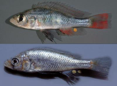 This image shows males in breeding dress of the new species Haplochromis argens (top) and H. goldschmidti (bottom) in the Emin Pasha Gulf. Note the difference in color and size of the egg spots. Credit: Dr. Frans Witte