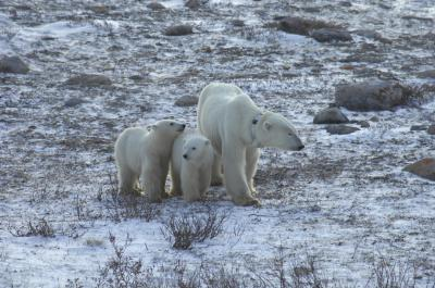 Polar bear and two cubs wait for ice to reform
