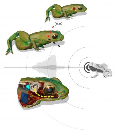 Diagram showing how the Gardiner's Seychelle frog's mouth amplifies the sound of its call and delivers it to the inner ear (click to embiggen)