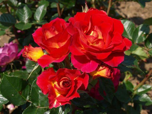 Maggio Passeggiare Tre Le Rose Più Belle Del Mondo