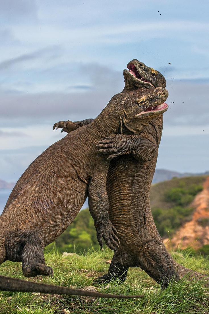 Prehistoric Komodo Dragon : prehistoric, komodo, dragon, Giant, Prehistoric, Komodo, Dragon