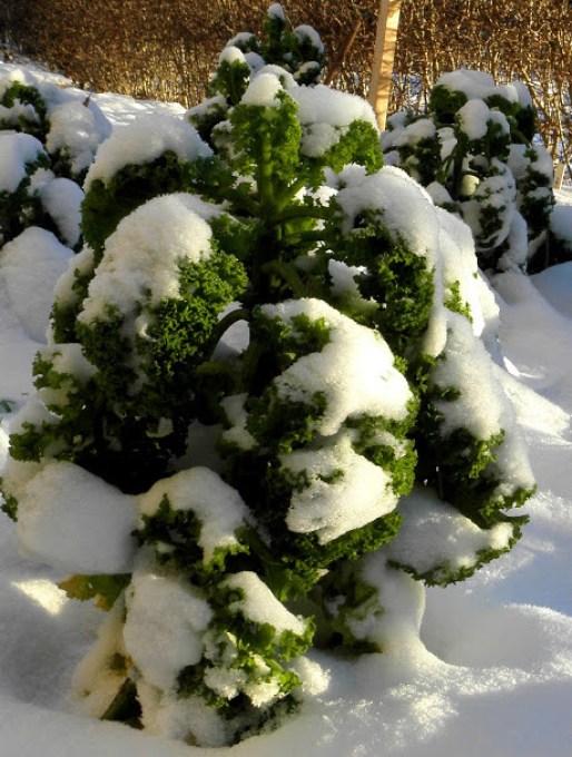 Grönkål under snön hos Farbror Grön