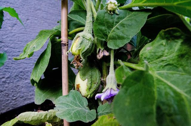 Odla aubergine som Farbror Grön