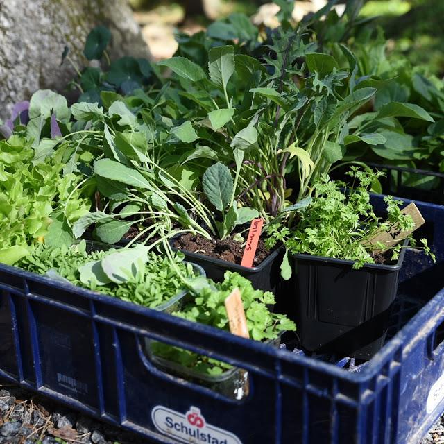 Förkultiverade plantor Farbror Grön