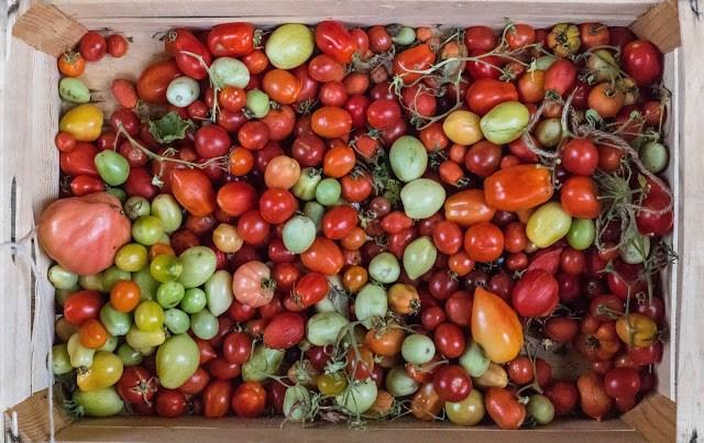 Tomater på eftermognad hos Farbror Grön