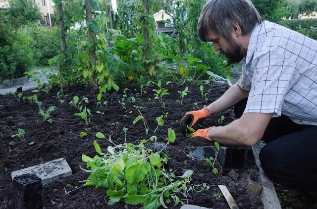 Johannes Wätterbäck planterar ut kål Farbror Grön