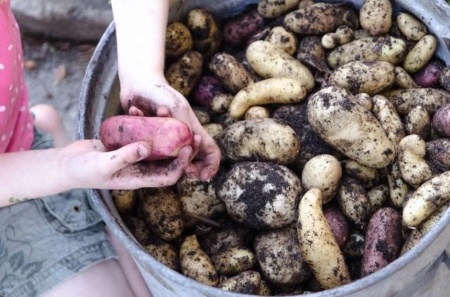 En stor hink med egenodlade potatisar hos Farbror Grön