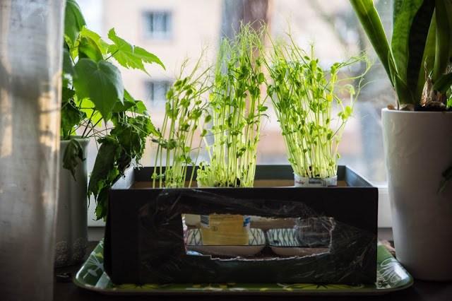 Ärtskott odlas av vanliga torkade gula ärtor