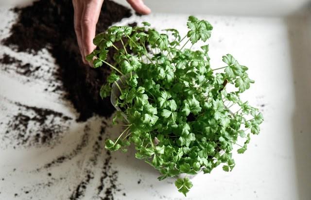 Försådda rotselleriplantor som ska planteras om Farbror Grön
