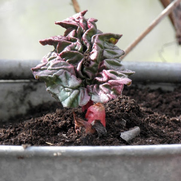 Rabarberstickling planterad Farbror Grön