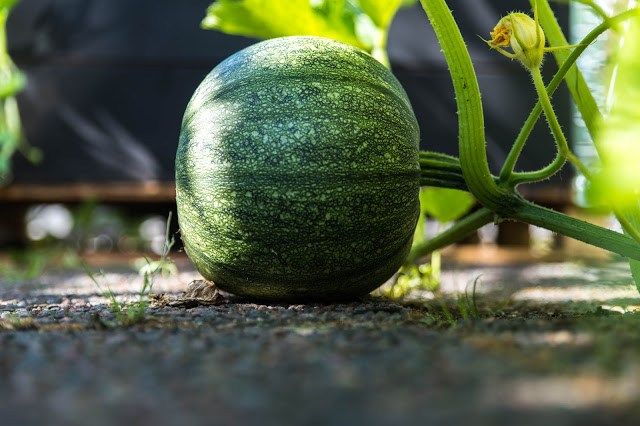 Vattenmelon på takfarmen Farbror Grön