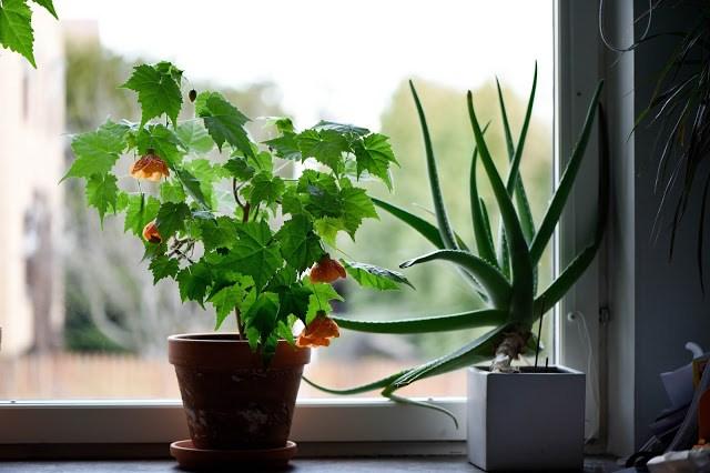 Klockmalva i fönster Farbror Grön