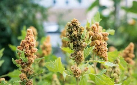 quinoa farbror grön