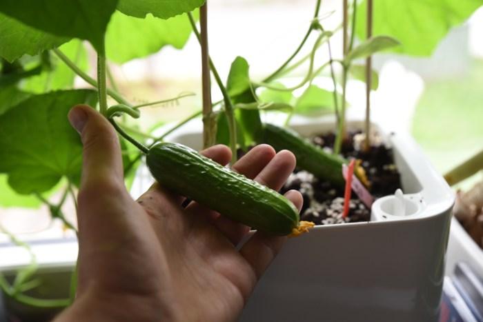Beskära gurkväxter
