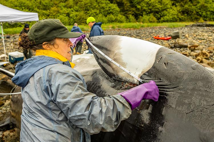 Christine Gabriele measures the pectoral fin of the minke whale