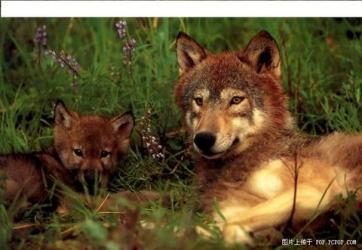 baby cute wolves wolf mother mom pup female