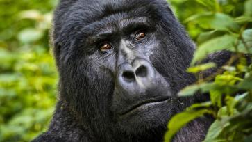UgandaTuru Goril Safari