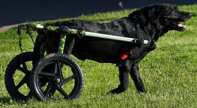 wheel chairs for dogs wooden dining johannesburg wisconsin nonprofit gunnar s wheels gives wheelchairs to needy pets