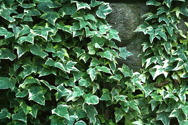 lierres grimpants ou arbustifs