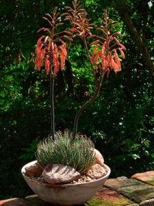 Aloe Aloes Culture Multiplication Espces Varits