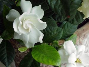 gardenia culture entretien
