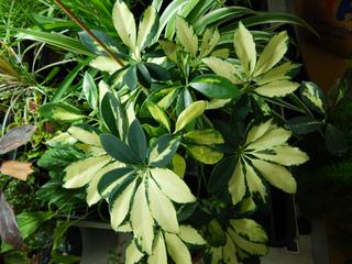 Schefflera  une plante verte dintrieur robuste et