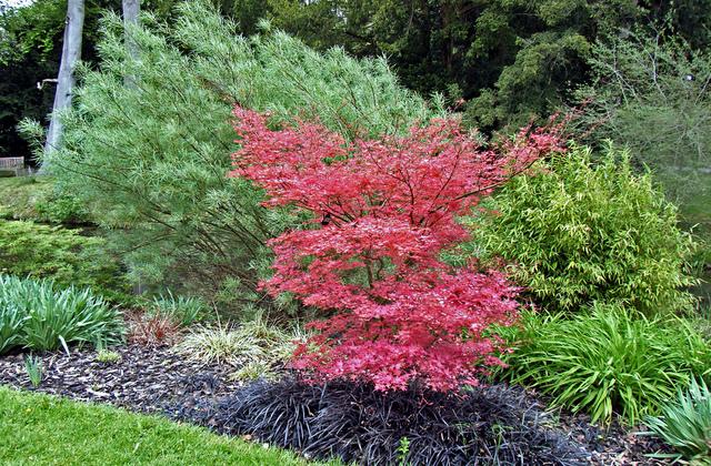 plantes et arbres a feuillage rouge