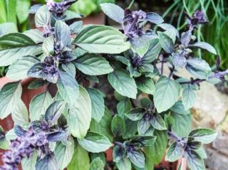 Ocimum kilimandscharicum - Basilic vivace