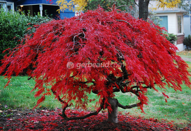 Weeping Evergreen Shrubs For Landscaping
