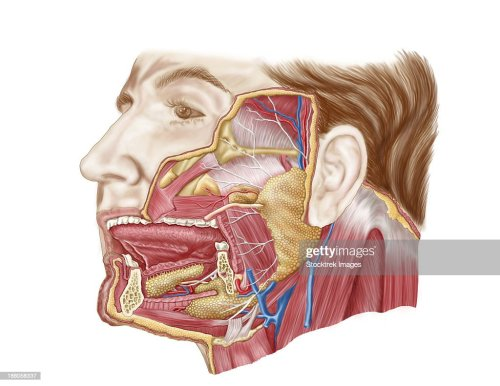 small resolution of anatomy of human salivary glands stock illustration