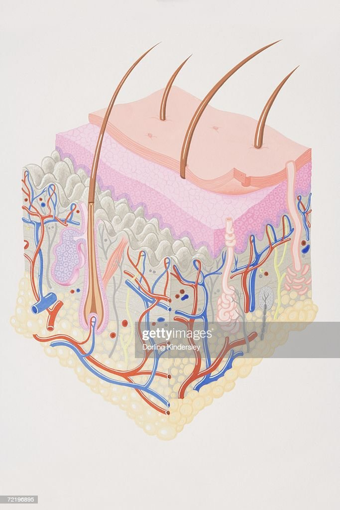 skin cross section diagram 2003 nissan 350z radio wiring crosssection of human stock illustration getty images