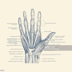 Hand Muscles Diagram Word Problems Involving Venn Depicting The Bones Ligaments And Throughout Fingers Stock
