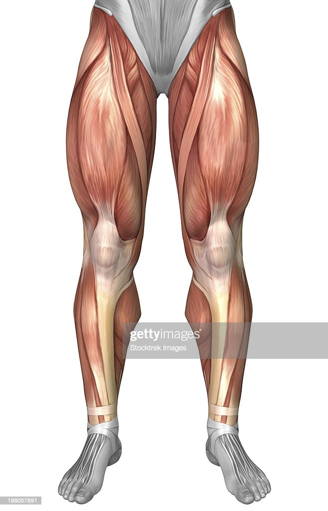 front leg ligament diagram simple ignition wiring stock illustrations and cartoons illustrating muscle groups on of human legs
