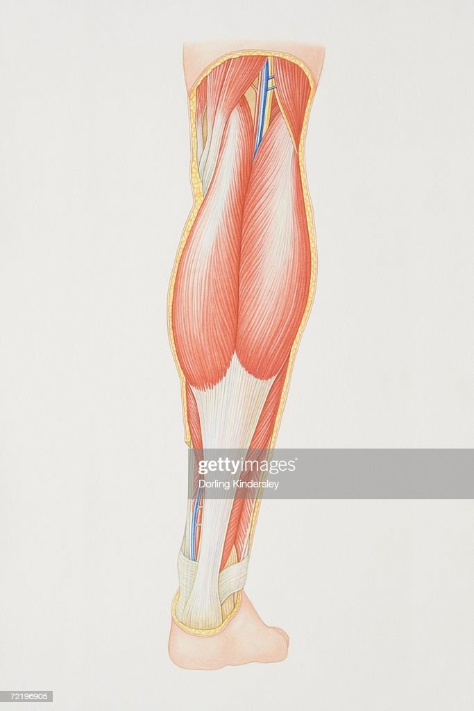 lower leg nerve diagram big 3 wiring of back illustrating muscle groups nerves and veins stock